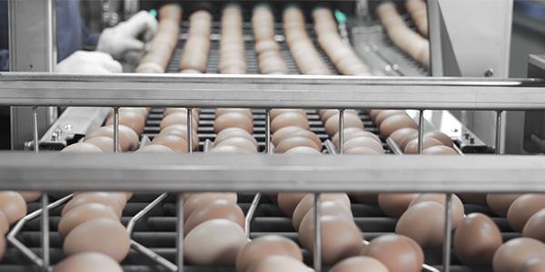 蛋鸡笼养殖为什么有时鸡会下软皮蛋